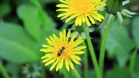 Abeja en polen amarillo metrajes