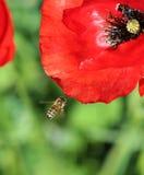 Abeja en Poppy Flower Fotografía de archivo libre de regalías