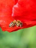 Abeja en Poppy Flower Fotografía de archivo