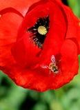 Abeja en Poppy Flower Imagenes de archivo