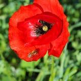 Abeja en Poppy Flower Imágenes de archivo libres de regalías