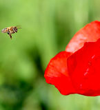 Abeja en Poppy Flower Foto de archivo