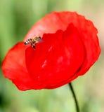 Abeja en Poppy Flower Foto de archivo libre de regalías