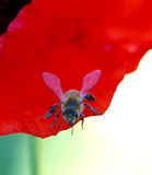 Abeja en Poppy Flower Imagen de archivo libre de regalías
