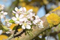 Abeja en primavera Imagen de archivo libre de regalías