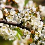 Abeja en primavera de la floración de las flores blancas de Sakura o del cerezo Fotografía de archivo libre de regalías