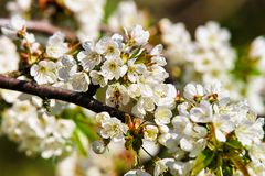 Abeja en primavera de la floración de las flores blancas de Sakura o del cerezo Fotografía de archivo