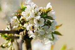 Abeja en primavera del flor de las flores blancas de Sakura o del cerezo Fotografía de archivo