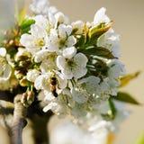 Abeja en primavera del flor de las flores blancas de Sakura o del cerezo Fotos de archivo libres de regalías