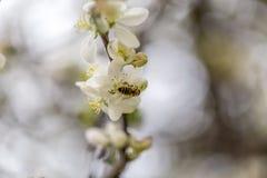Abeja en primer que recoge el néctar Imágenes de archivo libres de regalías