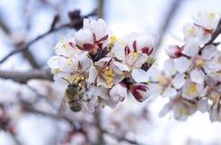 Abeja en rama de árbol floreciente de la primavera Fotografía de archivo