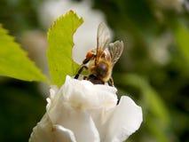 Abeja en rosa del blanco Fotografía de archivo