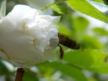 Abeja en rosa del blanco Imagenes de archivo