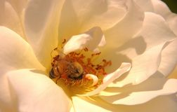 Abeja en rosa del blanco Fotografía de archivo libre de regalías