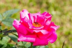 Abeja en rosa del rosa Fotos de archivo
