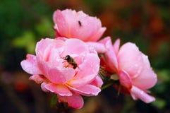 Abeja en rosa del rosa Foto de archivo libre de regalías