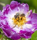 Abeja en rosa del rosa en la floración Imagenes de archivo
