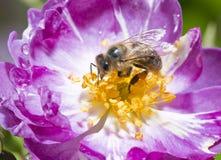 Abeja en rosa del rosa en la floración Fotografía de archivo libre de regalías