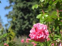 Abeja en rosa del rosa en Stanley Park en Vancouver, Canadá Foto de archivo libre de regalías