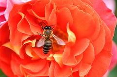 Abeja en Rose Flower rosada y anaranjada Foto de archivo libre de regalías