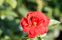 Abeja en Rose roja Fotografía de archivo libre de regalías