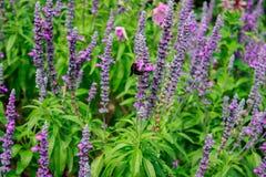 Abeja en Salvia floreciente Fotos de archivo libres de regalías