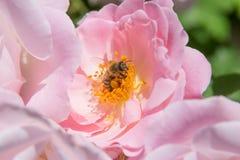 Abeja en sello de la flor Fotografía de archivo