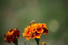 Abeja en Tagete anaranjado en puesta del sol Imagen de archivo libre de regalías