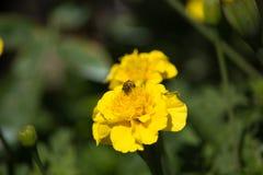 Abeja en Tagetes amarillo en puesta del sol Fotos de archivo libres de regalías
