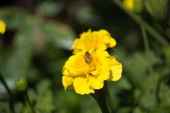 Abeja en Tagetes amarillo en puesta del sol Fotografía de archivo libre de regalías