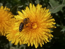 Abeja en Taraxacum de la flor Imagen de archivo