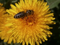 Abeja en Taraxacum de la flor Imagenes de archivo