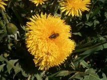 Abeja en Taraxacum de la flor Imágenes de archivo libres de regalías