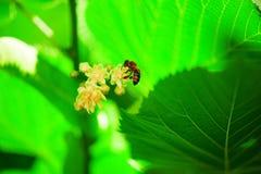 Abeja en un árbol de cal del flor Imágenes de archivo libres de regalías