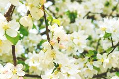 Abeja en un árbol de la flor Imagen de archivo libre de regalías