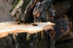 Abeja en un árbol del corte Fotografía de archivo