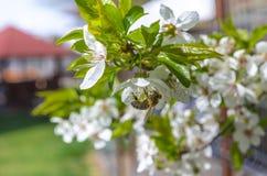 Abeja en un árbol floreciente Fotos de archivo libres de regalías