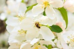 Abeja en un árbol floreciente blanco Fotografía de archivo