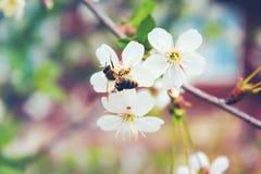 Abeja en un árbol floreciente blanco de la primavera Imagen de archivo libre de regalías