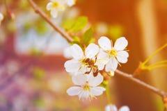 Abeja en un árbol floreciente blanco de la primavera entonado Imagenes de archivo