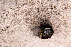 Abeja en un agujero de la arena Fotos de archivo