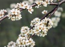 Abeja en un albaricoquero floreciente en el jardín Fotografía de archivo libre de regalías
