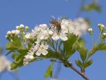 Abeja en un arbusto floreciente del resorte Foto de archivo libre de regalías