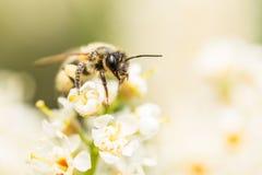 Abeja en un blanco flowercovered en polen Fotografía de archivo