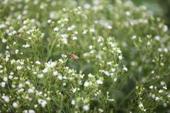 Abeja en un campo del stevia foto de archivo