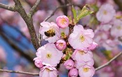 Abeja en un cerezo japonés Fotos de archivo libres de regalías