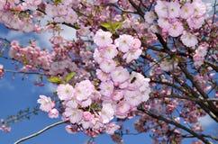 Abeja en un cerezo japonés Imagenes de archivo