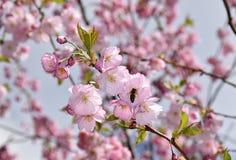 Abeja en un cerezo japonés Fotografía de archivo