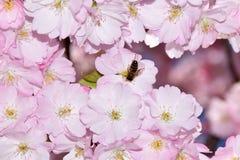 Abeja en un cerezo japonés Imagen de archivo libre de regalías