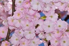 Abeja en un cerezo japonés Imagen de archivo